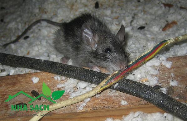 Dịch vụ kiểm soát chuột